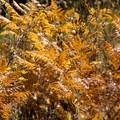 Ferns have turned golden brown during the fall.- Bear Basin + Seven Up Pass