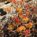 These interesting flowers seem to change colors in the fall.- Bear Basin + Seven Up Pass