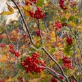 A shrub with bright red berries begins to change colors.- Bear Basin + Seven Up Pass