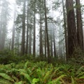 Fog is a frequent visitor here due to the high elevation.- Lady Bird Johnson Grove