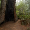 A redwood that was likely hollowed out by a fire.- Lady Bird Johnson Grove