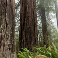 Redwood bark often has lichens and mosses growing on it.- Lady Bird Johnson Grove