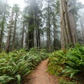 Some portions of the grove are covered with massive ferns.- Lady Bird Johnson Grove
