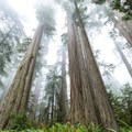 Towering coastal redwoods are the tallest living organisms.- Lady Bird Johnson Grove