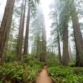 Trail leads right through an opening of massive redwoods.- Lady Bird Johnson Grove