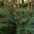 Large ferns growing along the trail.- Thunder Rock Cove