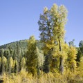 Aspen in the fall along the Cascade Creek Trail.- Cascade Creek Trail