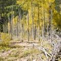 Aspen along Cascade Creek.- Cascade Creek Trail