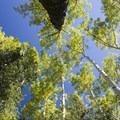 Aspen along the eastern trail near Cascade Creek.- Cascade Creek Trail