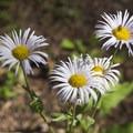 Wildflowers along the Cascade Creek Trail.- Cascade Creek Trail