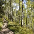 Groves of aspen along the Jud Wiebe Trail.- Jud Wiebe Trail