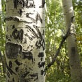 Locals inscribe the aspen near the Jud Wiebe Trail.- Jud Wiebe Trail