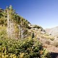 Juvenile fir near the Highland Mary Lakes.- Highland Mary Lakes