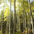 Aspen forest characterizes the early section of the Lizard Head Trail near Wilson Meadows.- Wilson Meadows