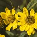 Wildflowers along the Lizard Head Trail to Wilson Meadows.- Wilson Meadows