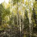Aspen along the Lizard Head Trail to Wilson Meadows.- Wilson Meadows