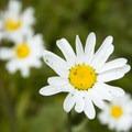 Wildflowers in Wilson Meadows.- Wilson Meadows