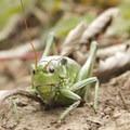 A grasshopper along the Lizard Head Trail to Wilson Meadows.- Wilson Meadows