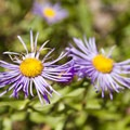 Wildflowers along the Sneffels Highline Trail.- Sneffels Highline