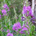 Fireweed.- Beaver Pond Loop