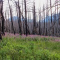 Fireweed taking over the burn area.- Beaver Pond Loop