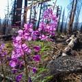 Fireweed taking over a burn area.- Three Sisters Loop