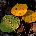 Three autumn leaves at sunset.- Owls Creek Pass + Silver Jack Reservoir