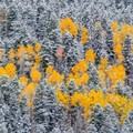 Aspen shine among snow-covered pine.- Owls Creek Pass + Silver Jack Reservoir