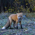 Red fox just after sunrise near Silver Jack Reservoir.- Owls Creek Pass + Silver Jack Reservoir