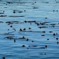Watch for sea life camoflouged among the floating kelp.- Coast Trail: Aylard Farm to Beechey Head