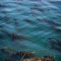 Underwater kelp forest.- Coast Trail: Aylard Farm to Beechey Head