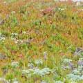 Colorful ice plants growing on the beach.- Big Lagoon County Beach