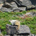 Marmot enjoying the sun.- Piegan + Siyeh Pass