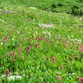 Preston Park full of flowers.- Piegan + Siyeh Pass