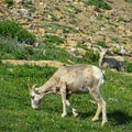Bighorn ewe with a lamb along the trail.- Piegan + Siyeh Pass