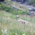 Curious Coyote in the grass.- Piegan + Siyeh Pass