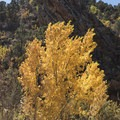 A vibrant cottonwood along the Kanarra Creek Trail.- Kanarra Creek Trail to Kanarraville Falls