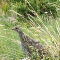Ptarmigan in the grass.- Dawson + Pitamakan Pass