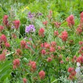 Indian paintbrush along the trail.- Dawson + Pitamakan Pass