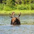 Bull moose in Fishercap Lake.- Bullhead Lake