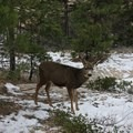 A mule deer along the trail as the route descends toward Zion Canyon.- West Rim Trail, Lava Point to Zion Canyon