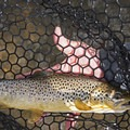 A brown trout in the net.- Middle Provo River