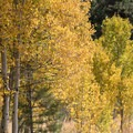 Aspen grove on the left side of the path.- Martis Creek Cabin