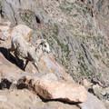 Bighorn sheep (Ovis canadensis) at the summit of Pikes Peak (14,115 ft).- Pikes Peak Summit + Highway