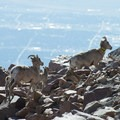 Bighorn sheep (Ovis canadensis) at the summit of Pikes Peak (14,115 ft).- Pikes Peak, Crags Route Hike
