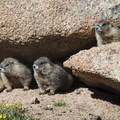 Yellow-bellied marmots (Marmota flaviventris) along the Pikes Peak Trail.- Pikes Peak, Crags Route Hike