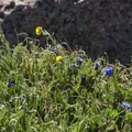 Subalpine wildflowers along the Pikes Peak Trail near the summit.- Pikes Peak, Crags Route Hike