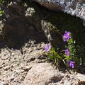 Fairy primrose (Primula angustifolia) along the Pikes Peak Trail.- Pikes Peak, Crags Route Hike
