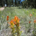 Orange paintbrush (Castilleja integra) along the Petrified Forest Loop Trail.- Petrified Forest Loop Trail