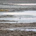 Killdeer (Charadrius vociferus).- Summer Lake